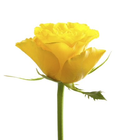 Single yellow rose, isolated on white background Stock Photo