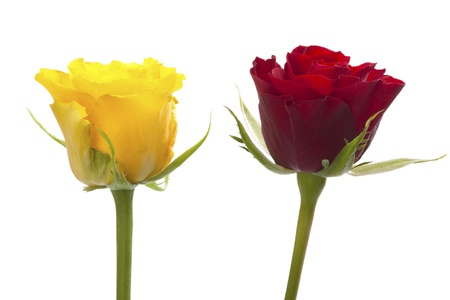 Red and yellow rose, isolated on white background photo