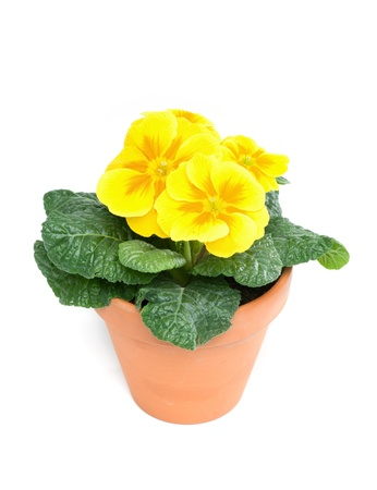 Yellow primroses in clay pot, isolated on white background