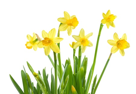 Yellow daffodils, spring flowers, isolated on white background Stock Photo