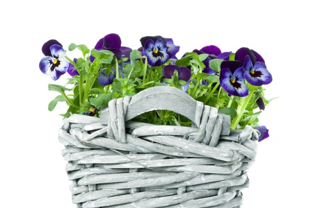 violett: Plait Basket with violett Sweet Pansies, isolated on white background