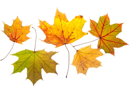 Colorful leaves from a chestnut tree in fall colors. Isolated on white background. Stock Photo