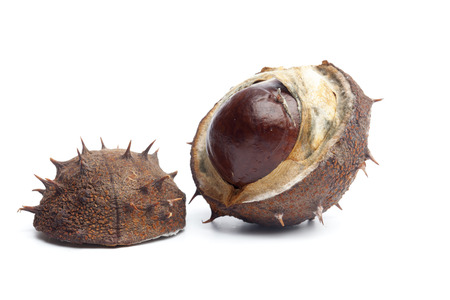 Single conker fruit from horse chestnut tree, isolated on white background.