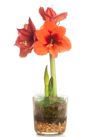 Single red Amaryllis bloom flower with multiple blossoms, potted. Cutout, Isolated on white background.