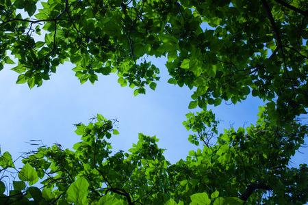 ume: Blick von unten durch Bäume auf blauen Himmel.