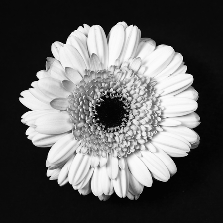 high angle view: Gerbera daisy, high angle view, monochrome converted