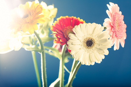 gerbera daisies: Several gerbera daisies, shot against the light, with lens flares, shallow depth of field on blue background.
