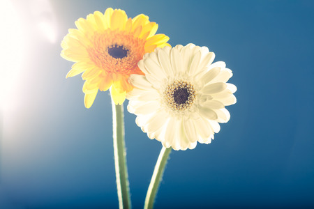 gerbera daisies: Two gerbera daisies, shot against the light, with lens flares, shallow depth of field on blue background. Stock Photo