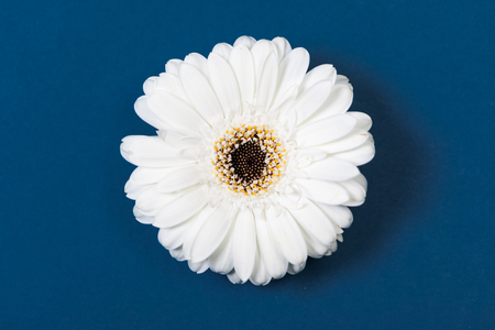 high angle view: White gerbera daisy, high angle view, on blue background.