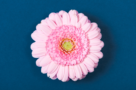high angle view: Light pink gerbera daisy, high angle view, on blue background.
