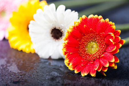 gerbera daisies: Several gerbera daisies, on wet black slate background, shallow depth of field. Stock Photo