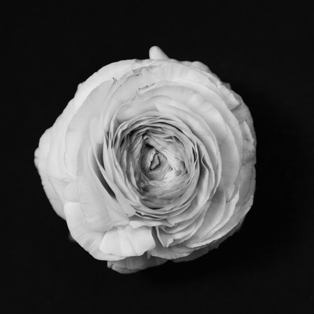high angle view: Buttercup ranunculus flower, high angle view, , monochrome converted