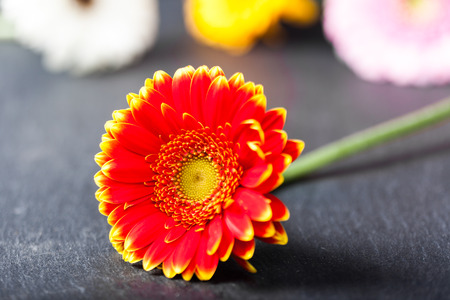Bicolor red yellow gerbera daisy, on wet black slate background, shallow depth of field. Stock Photo