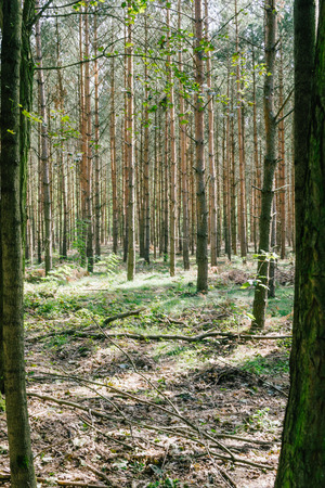 forestation: Large group of coniferous trees in forest Stock Photo