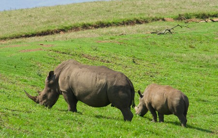 rinoceronte negro de �frica Foto de archivo - 3959308