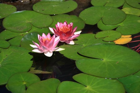 lotus in water Stock Photo - 3989317