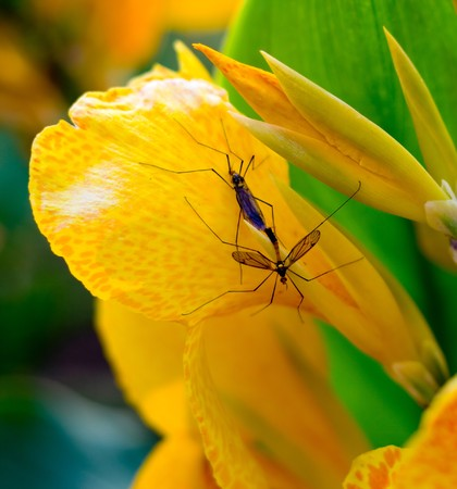 copulate: Mating insects on flower
