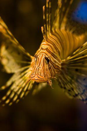 lion fish in aquarium photo