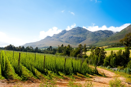 hops field in George, South Africa Stock Photo