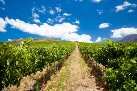 beautiful vineyard and clear sky photo