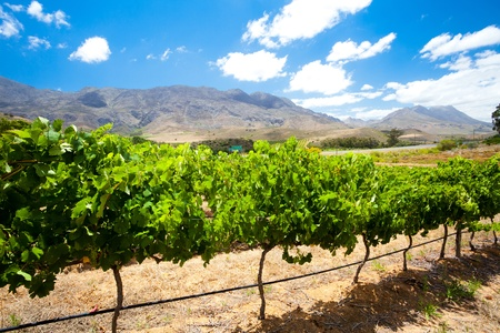 cape town: beautiful vineyard in winelands, South Africa