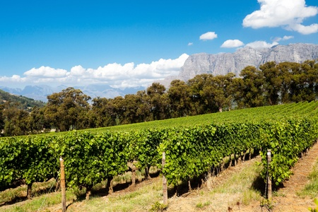 vineyard in Stellenbosch, Cape Town, South Africa photo