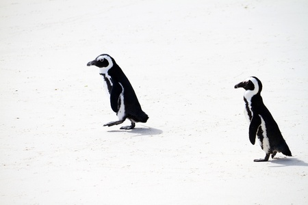penguins on beach: african penguins on beach Stock Photo