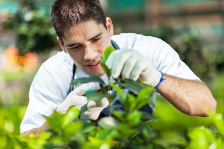 pruning shears: young male gardener working in greenhouse