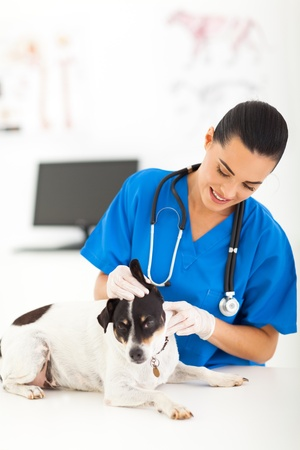 office visit: young female veterinarian checking dog ear