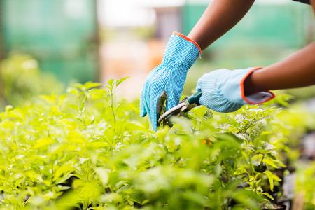 gardener trimming plant in garden 版權商用圖片