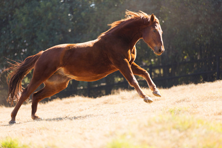 uncontrollable: beautiful horse running on the field Stock Photo