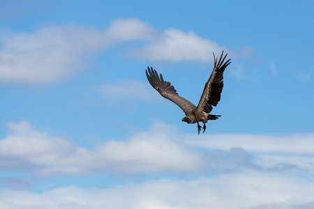 south african birds: african vulture in flight, south africa