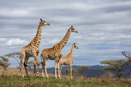 giraffes in south africa game reserve 写真素材