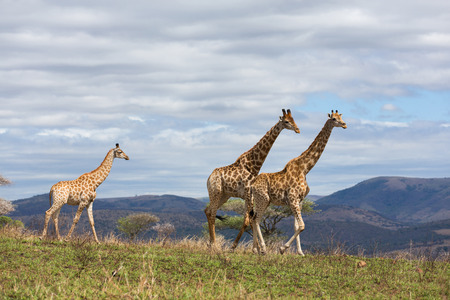 african giraffes walking on game reserve in south africa Stock Photo
