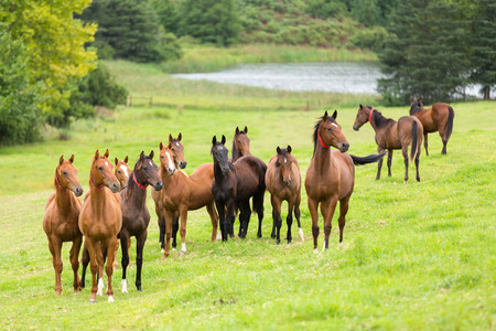 horse herd on the pasture Banque d'images