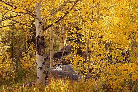 This stand of golden aspen trees is lit up by afternoon Colorado sunshine  photo