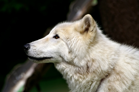 black wolf: Arctic White Wolf Stock Photo
