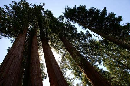 Sequoia Row Stock Photo