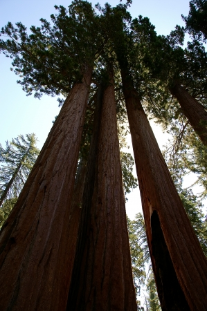 Sequoias and Sky