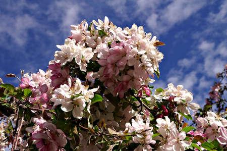 Colorado Cherry Blossom Stock Photo