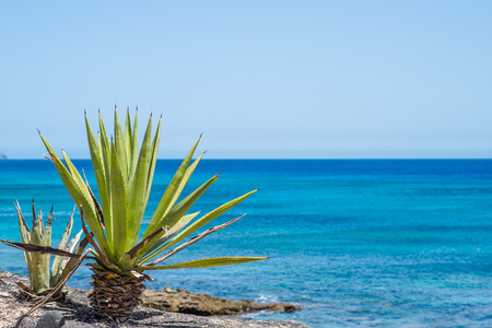 solidified: Palm tree on the ocean shore in Lanzarote, Spain