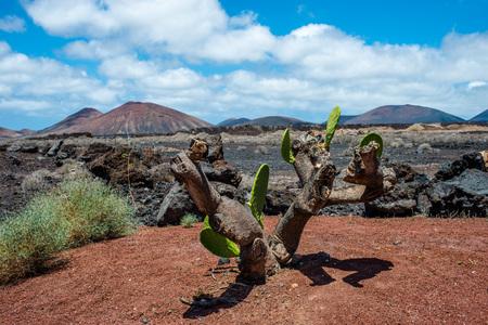 lanzarote: Cactus in Timanfaya National Park, Lanzarote