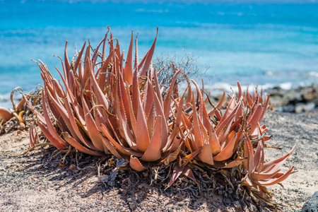 Red aloe vera on shore in Lanzarote, Spain