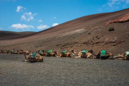 fuego: Camels in Montanas del Fuego, Lanzarote