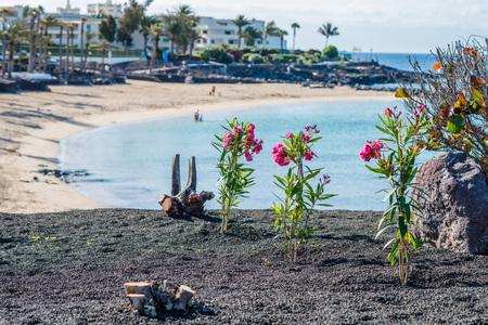 playa blanca: Red flowers on shore of Playa Blanca, Lanzarote