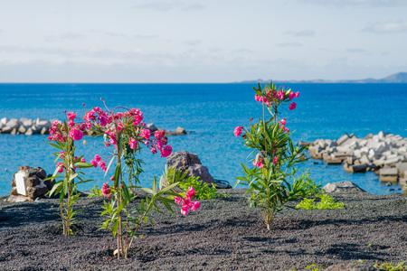Red flowers on shore of Playa Blanca, Lanzarote