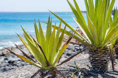 Palm tree on the ocean shore in Lanzarote, Spain