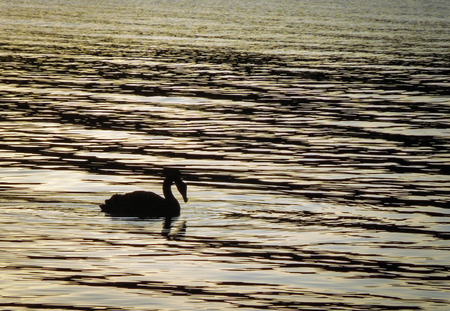 One adult black swan swimming on a calm lake surface, silhouetted in front of a golden sunset reflection.
