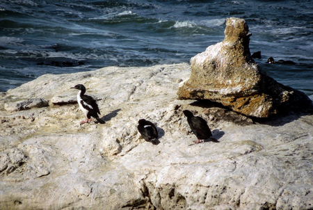 Three Cormorant Shags resting on a rock in the middle of a rough ocean. Taken on a sunny day.