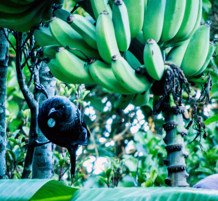 One Tui in a Banana tree with a large bunch of un-ripe bananas and foliage in the background.